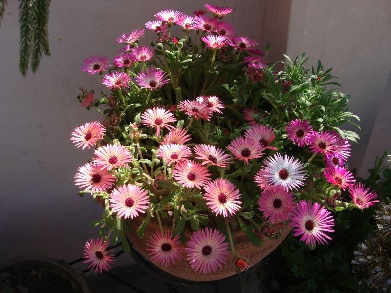 mesembryanthemum-pink