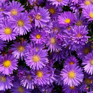 Lage aster