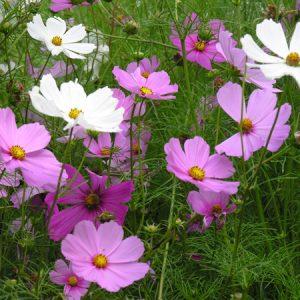 Cosmea wit, roze & fuchsia