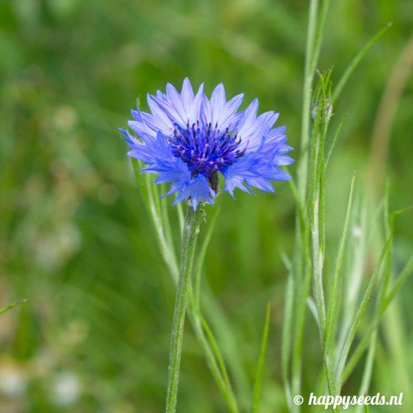 Blauwe korenbloem close up