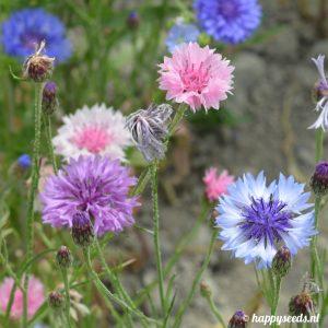 Korenbloemen wit, roze, lila en blauw