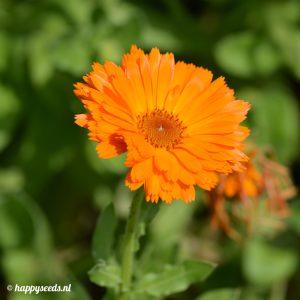 Goudsbloemen oranje