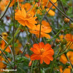 Oranje Cosmea