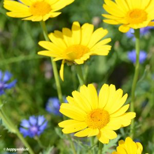Gele ganzenbloem