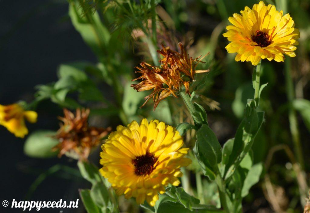 Gele goudsbloemen