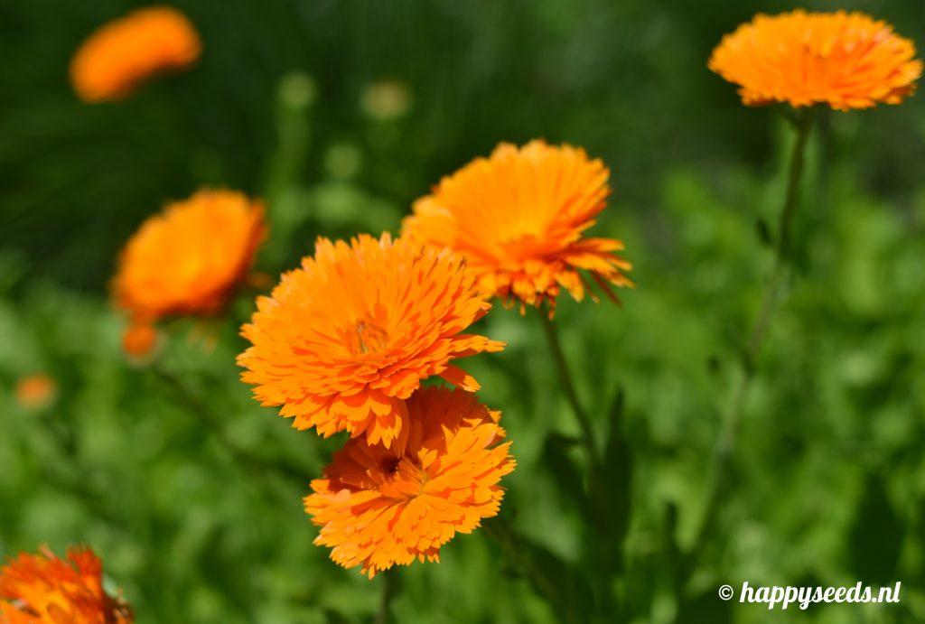 Oranje goudsbloem