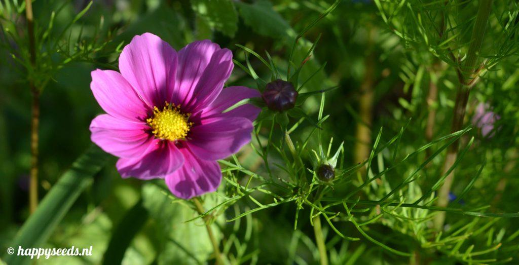 Cosmea bloem