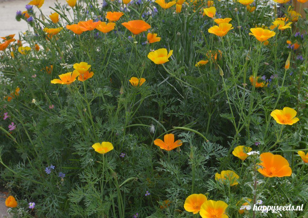 Perkje met slaapmutsjes en enkele andere soorten bloemen