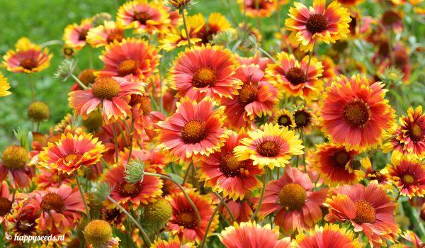 kokardebloemen