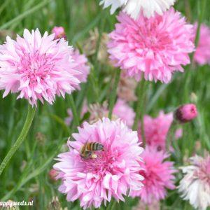 Roze korenbloemen