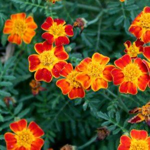 Eetbare bloemen 80 gram