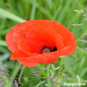 Rode klaproos (tulppapaver)