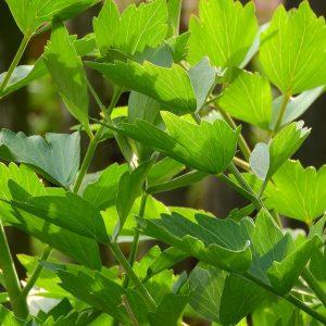 Maggiplant (Lavas)