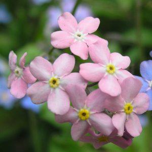 Vergeet-mij-nietjes roze