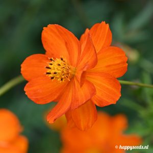 Rood-Oranje Cosmea 500 gram